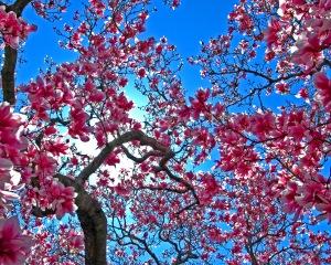 """Cherry Blossom #8"" by Ben: CC BY-SA-2.0"